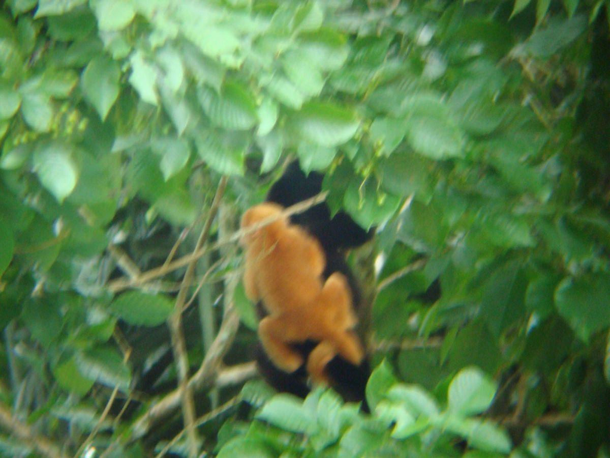 Albino howler monkey Cano Negro wildlife Tour, Costa Rica