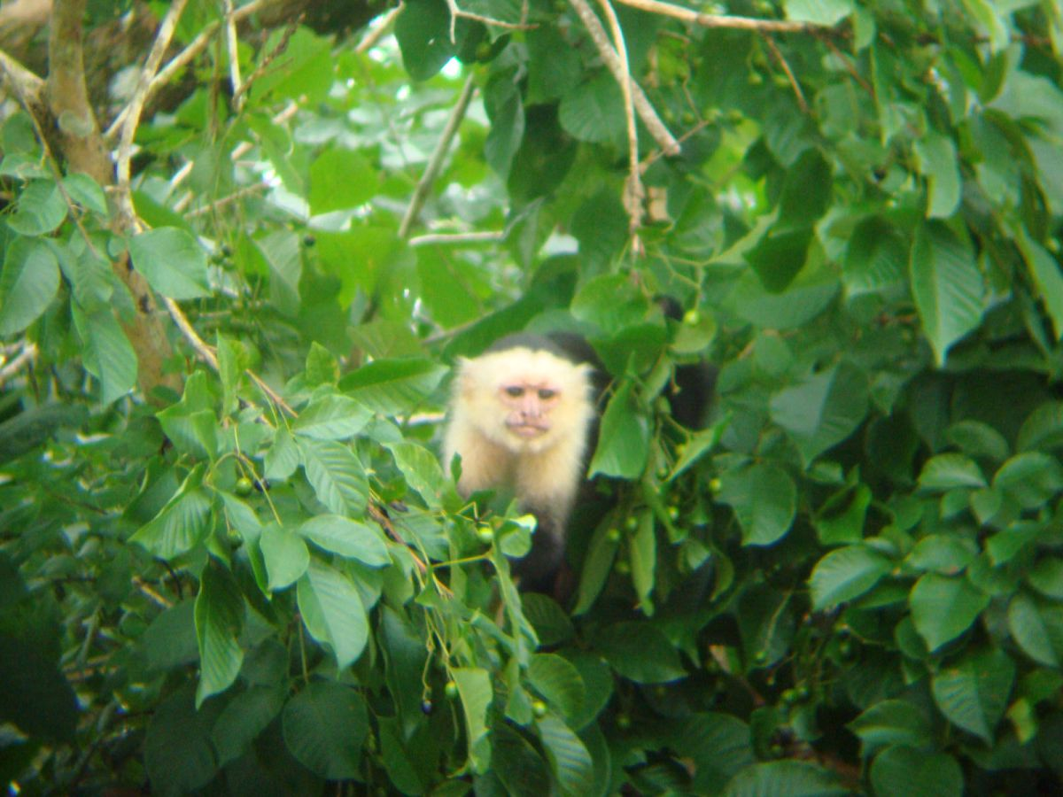 White-faced monkey, Cano Negro wildlife Tour, Costa Rica