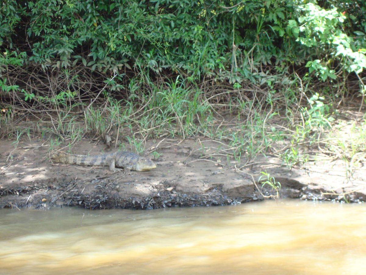 Caiman, Cano Negro wildlife Tour, Costa Rica