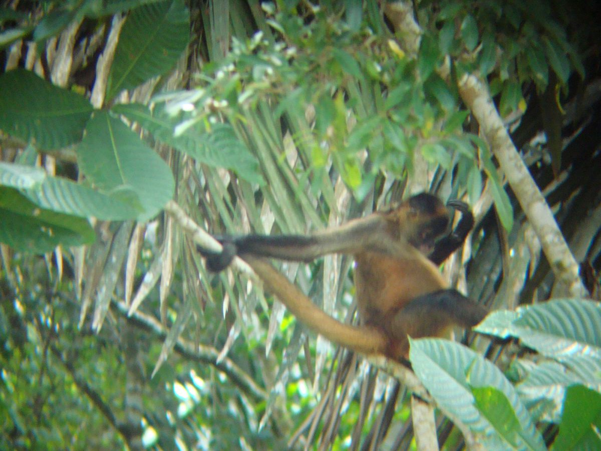Spider monkey, Cano Negro wildlife Tour, Costa Rica