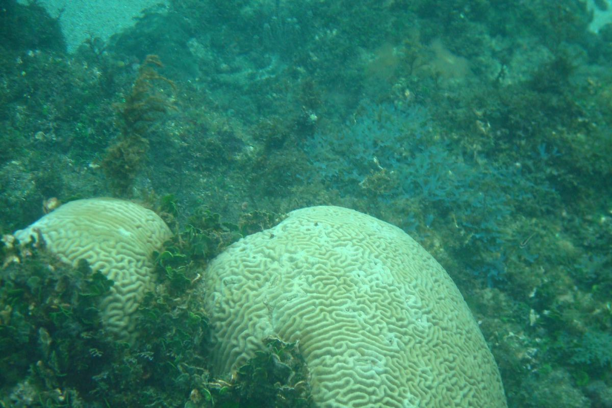Brain coral, Snorkeling, Cahuita, Costa Rica