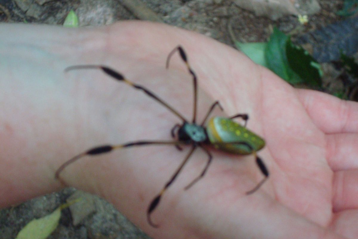 golden orb spider, Cahuita, Costa Rica