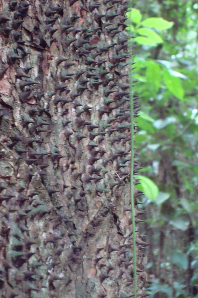 pochote tree, Kekoldi Indigenous farm tour, Costa Rica