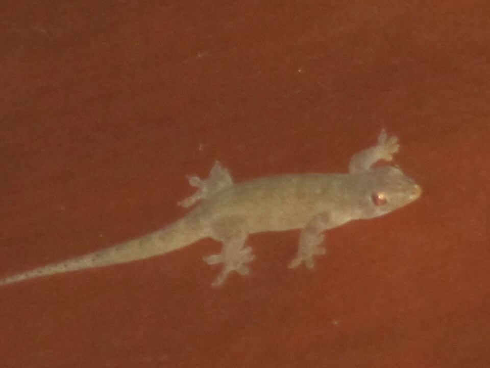 Gecko in our bungalow