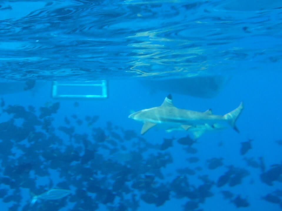 Snorkeling with black tip reef sharks, Bora Bora