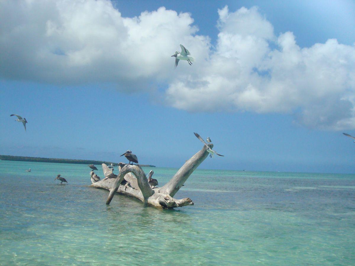 Pelicans mangroves Dominican Republic