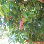 Dominican Republic mangoes