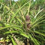 Dominican Republic Pineapples