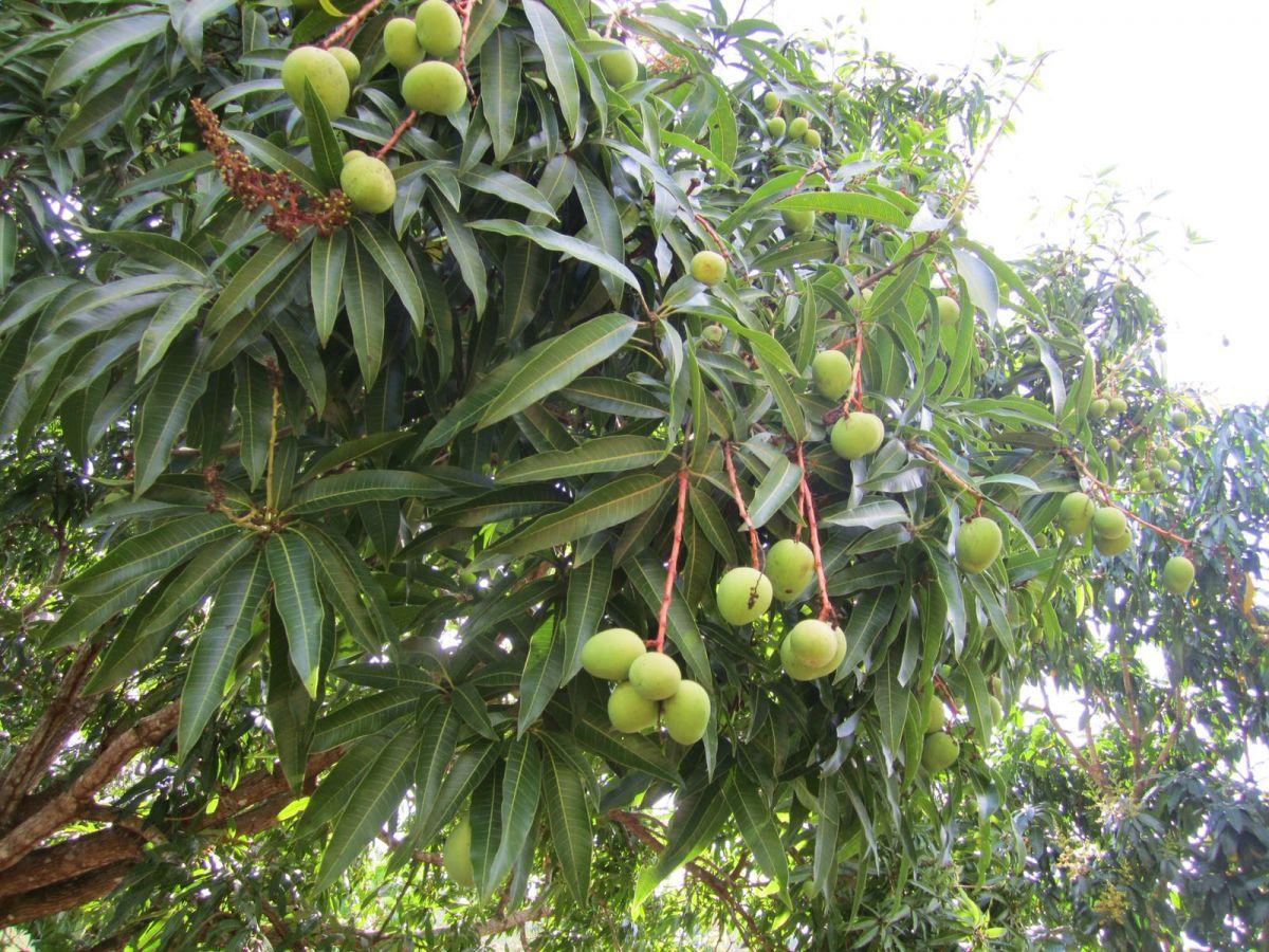 Domincan Republic passion fruit