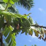 bananas Dominican Republic
