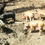 Domincan Republic baby piglets