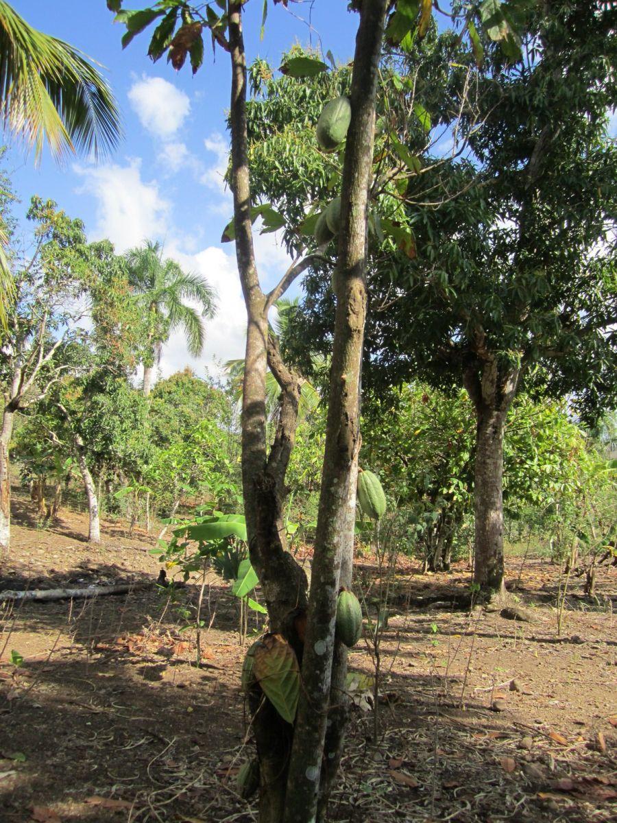 Domincan Republic cacao