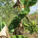 Domincan-Republic-bananas