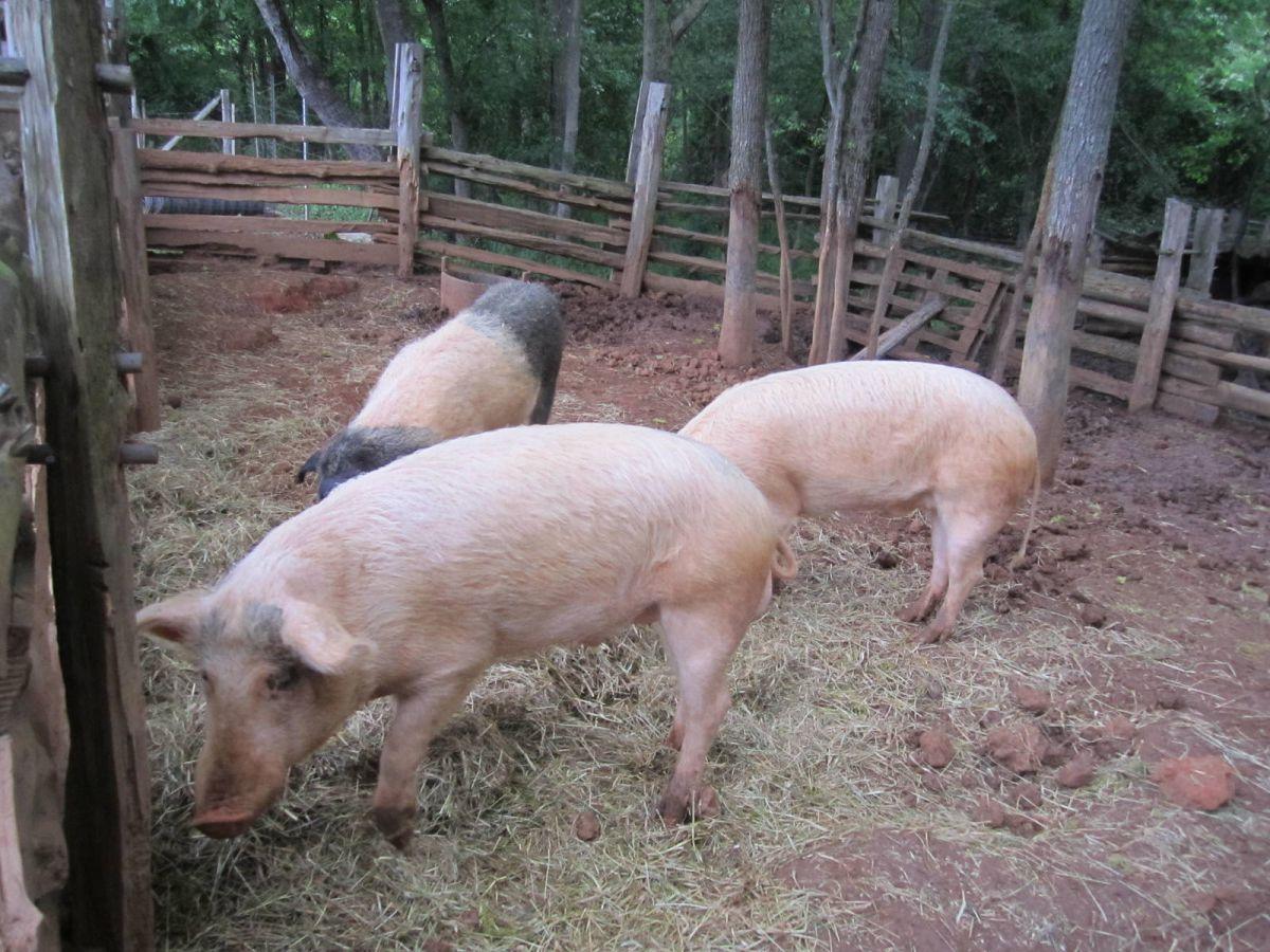Pigs at Latta Plantation