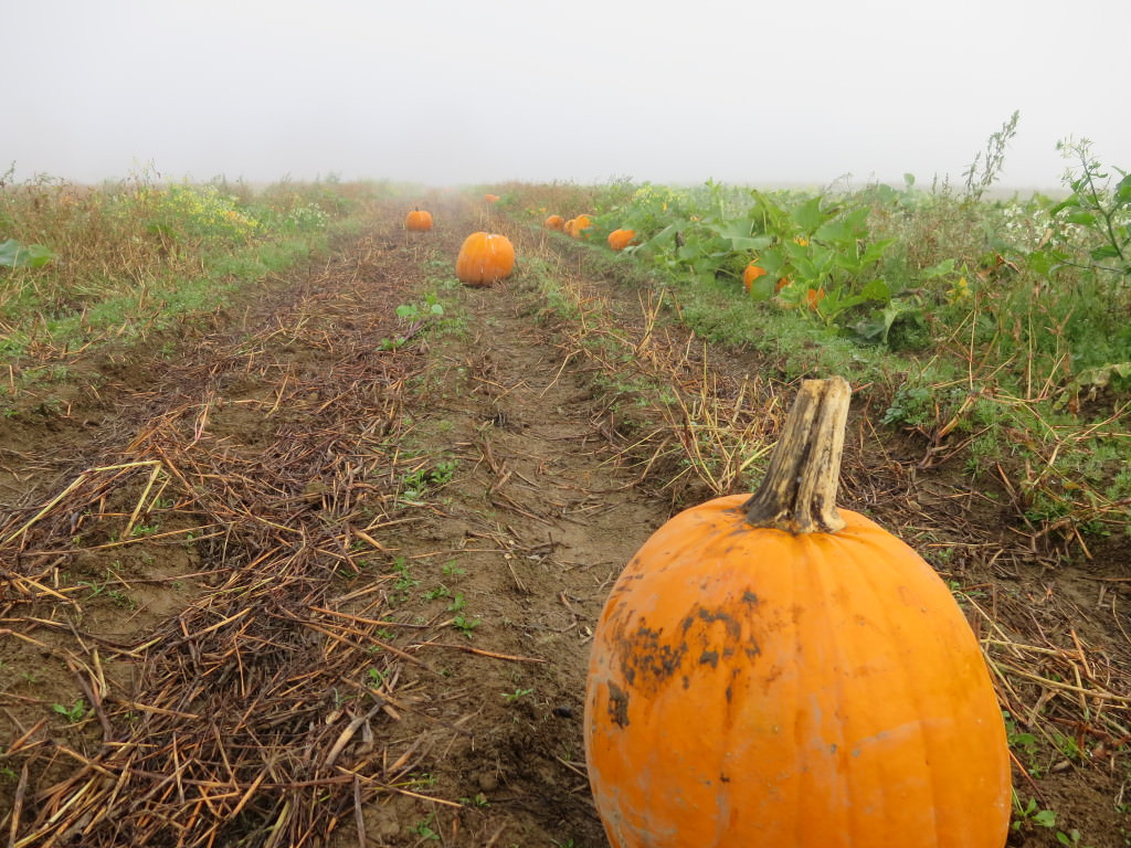 Montesano WA pumpkin patch