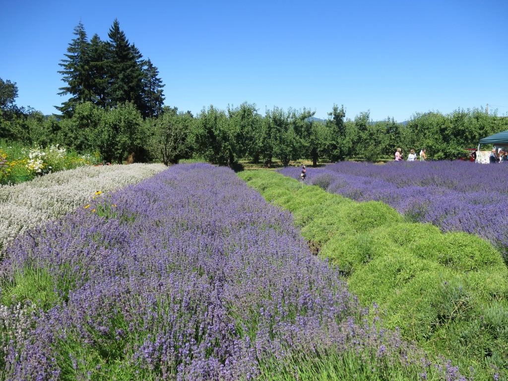 Hood River Lavender Festival