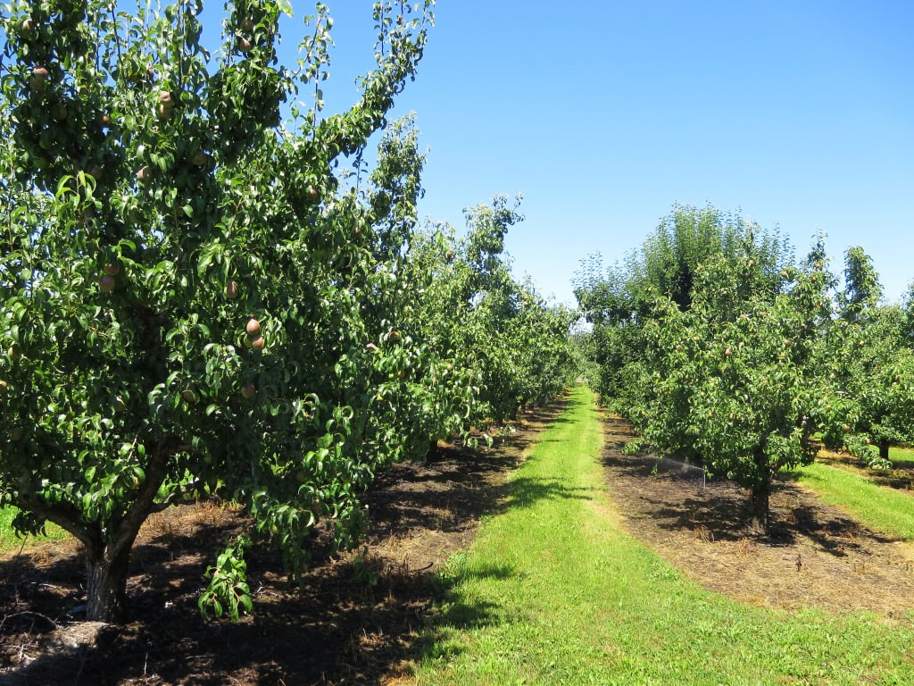 Hood River orchard