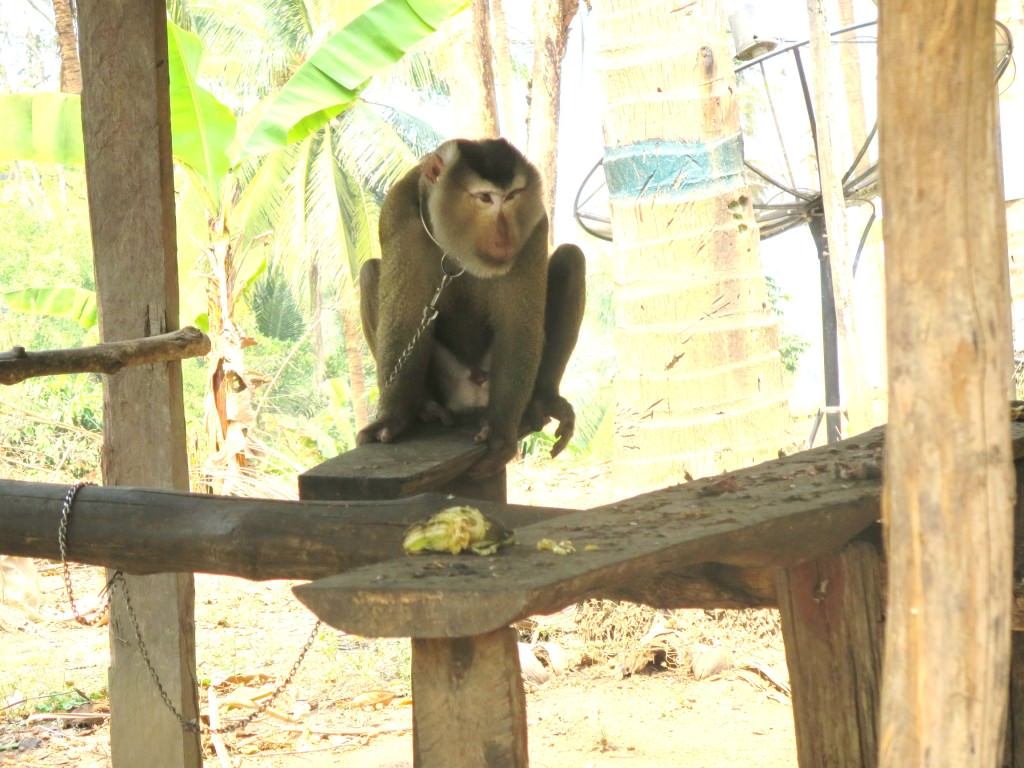 monkey who picks coconuts, floating lake house safari Thailand