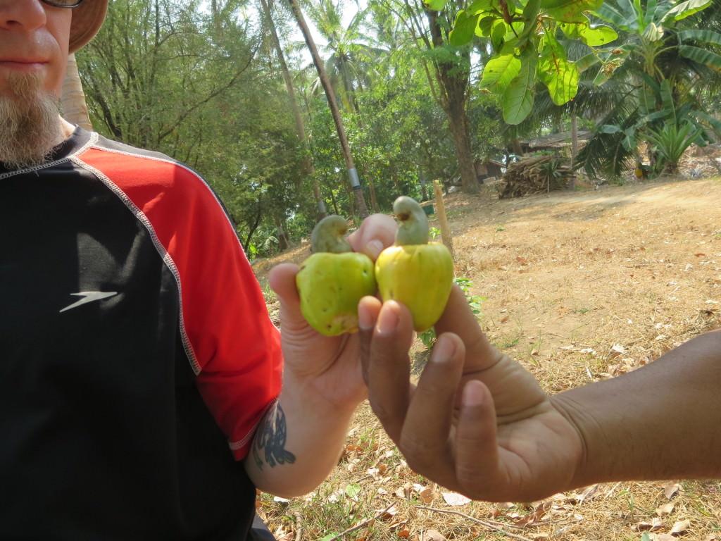 cashews growing in Thailand 798