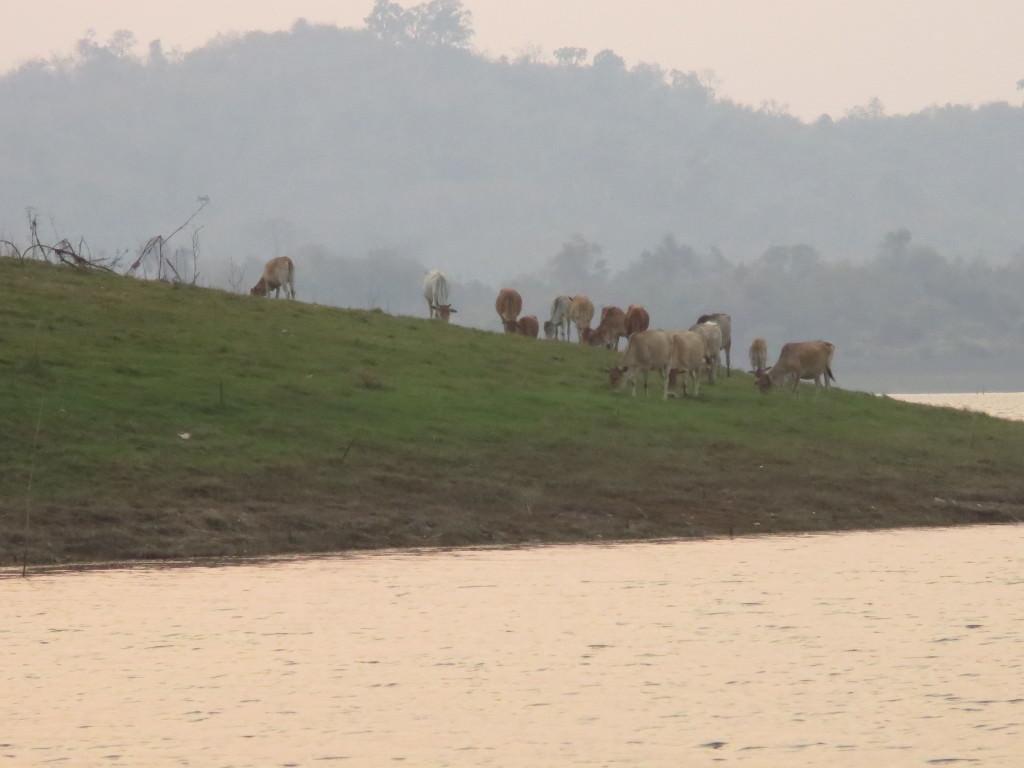 water buffalo floating lake safari Thailand