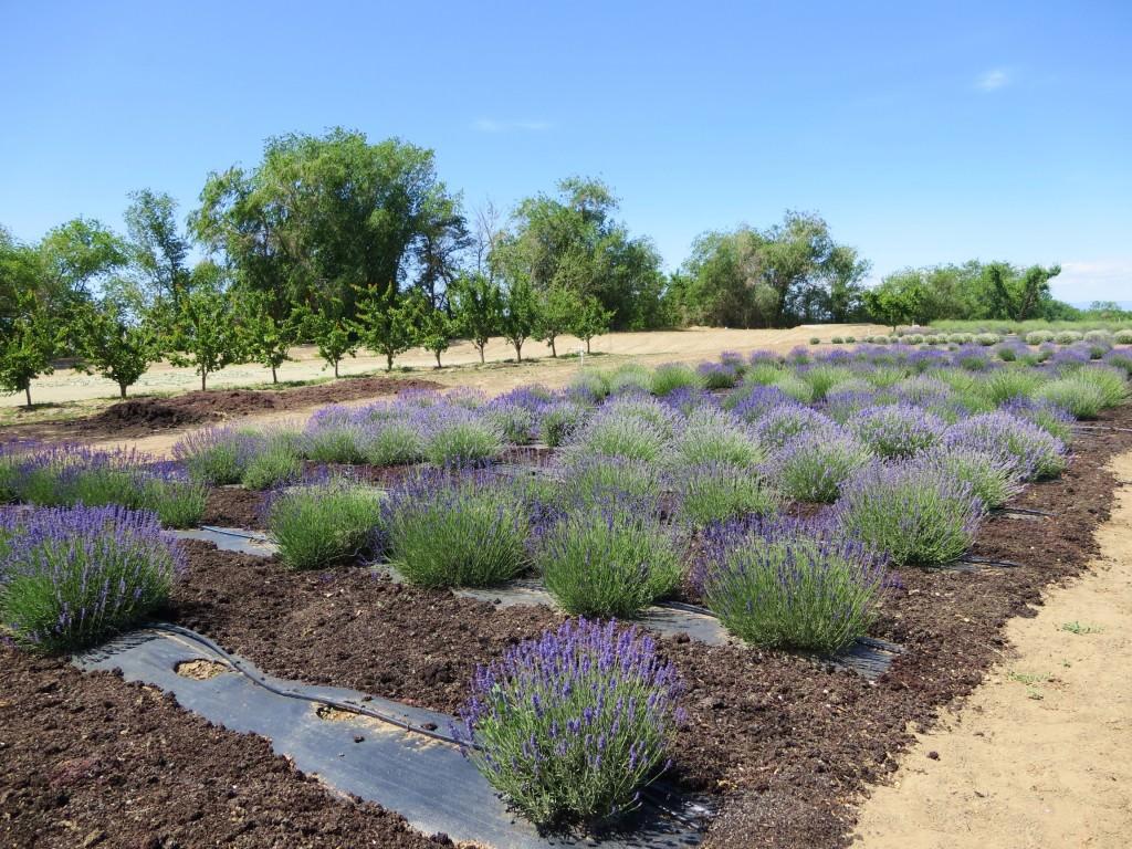 Lavender at J Bell Cellars Rattlesnake Hills Zillah