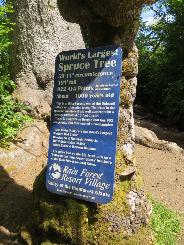 World's Largest Sitka Spruce Lake Quinault 2014 089