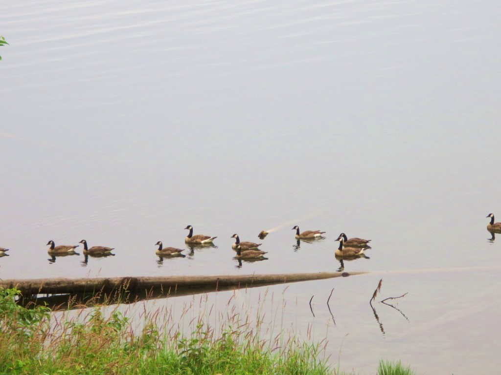 Lake Quinault Canadian Geese