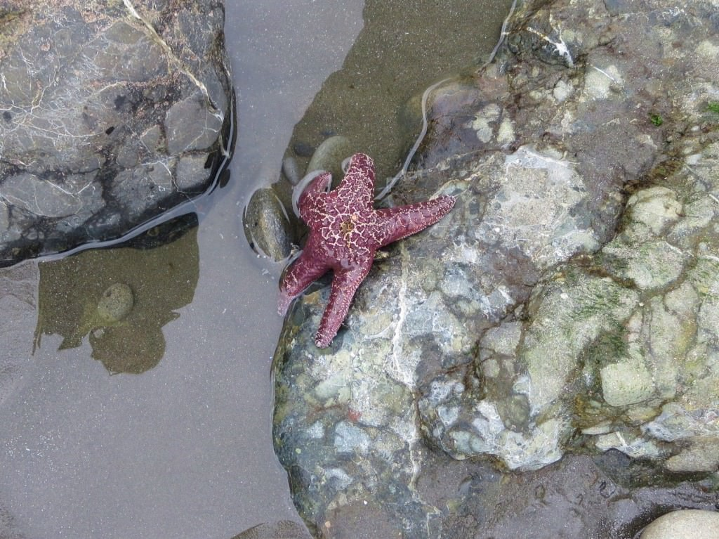 Starfish snacking on a mussel Ruby Beach tide pools