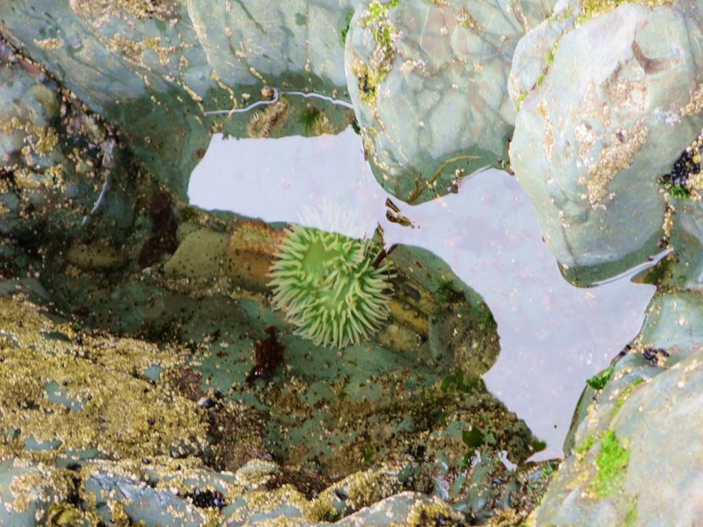 Ruby Beach tide pools sea anemones