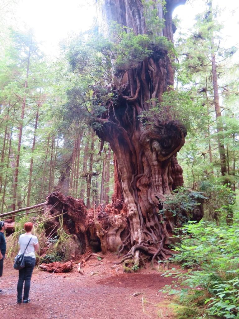 Olympic rainforest Big Cedar