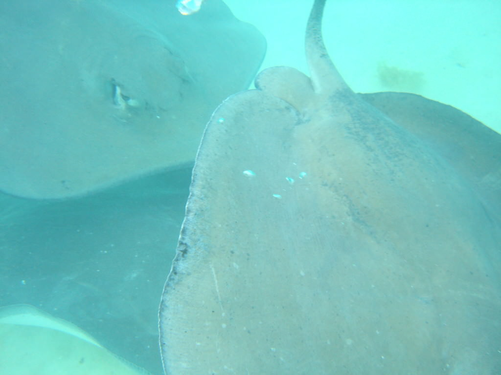 Sting rays in Bora Bora 2010