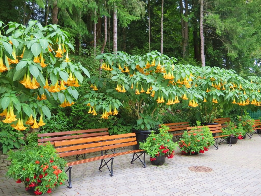Angels Trumpets The Butchart Gardens Victoria BC