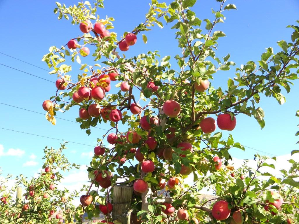 Chelan Crush Orondo Cider Works apple orchards