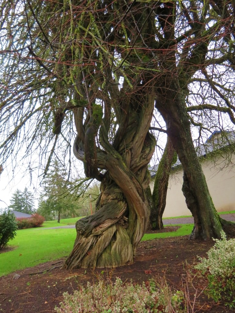 Moyer House wisteria tree Brownsville Oregon
