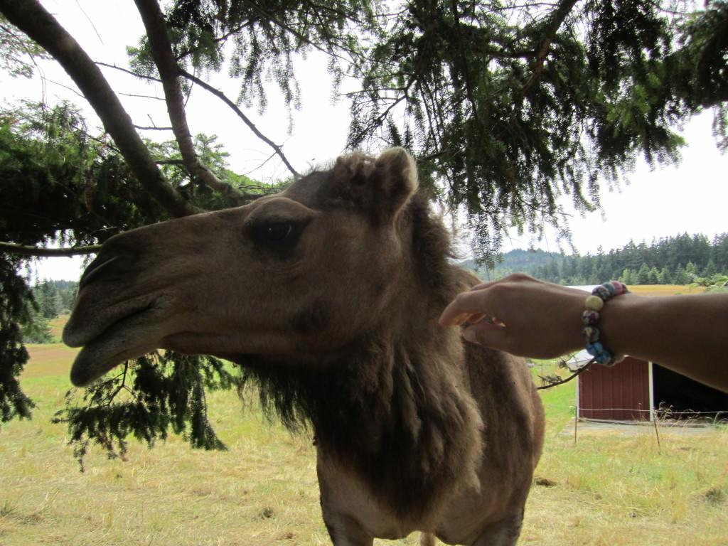 Mona the camel San Juan Island