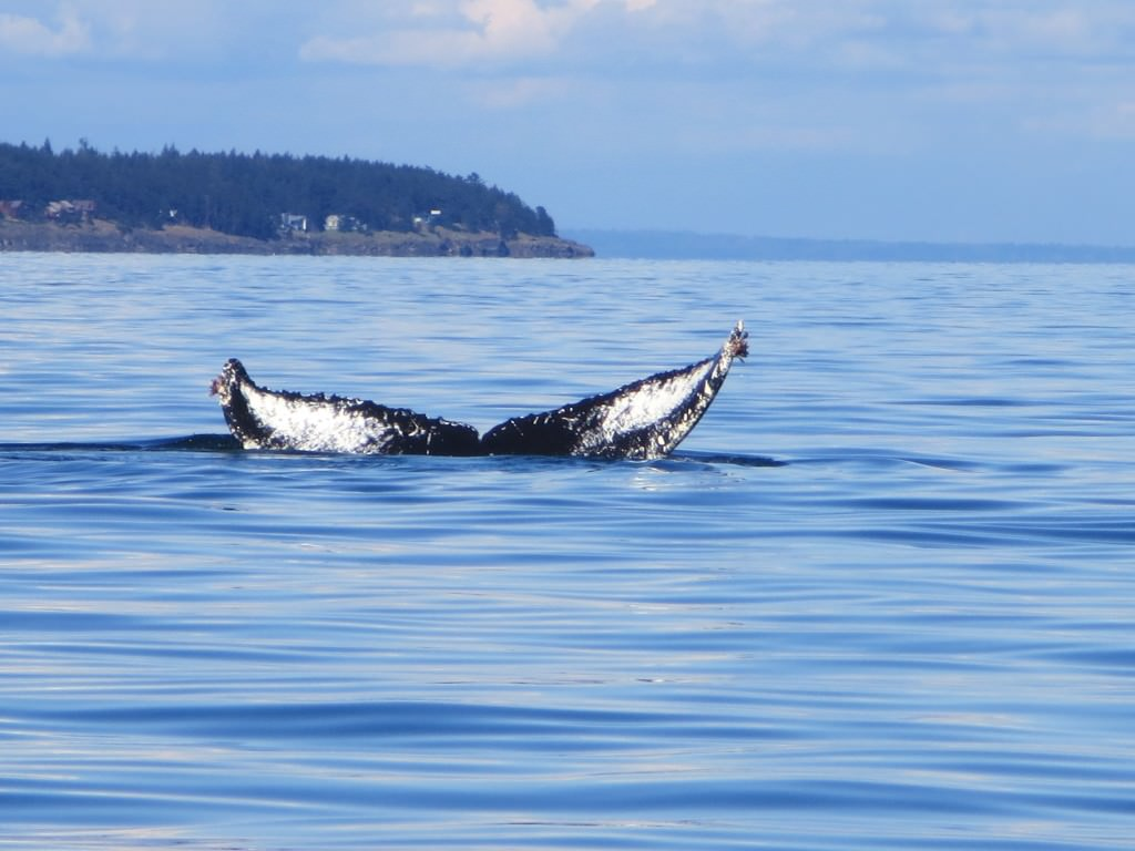 whale-watching-in-the-san-juan-islands 076