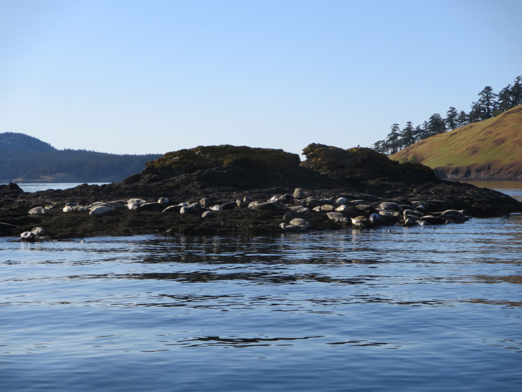 whale-watching-in-the-san-juan-islands 159
