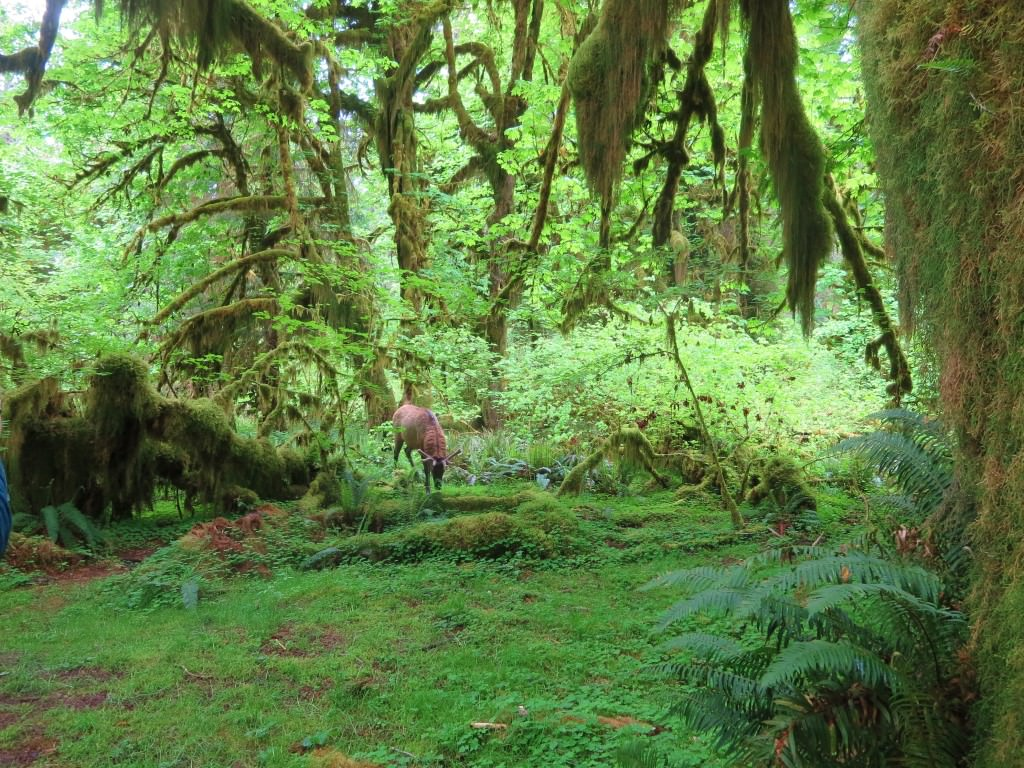 Elk in the Hall of Mosses trail Hoh Rainforest