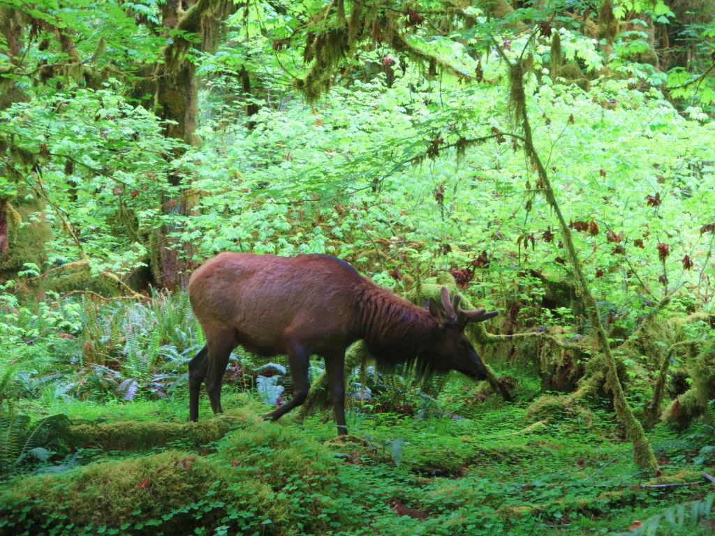 Elk in Hoh Rainforest
