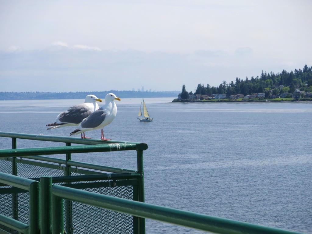 seagulls Kingston-Ferry (6)