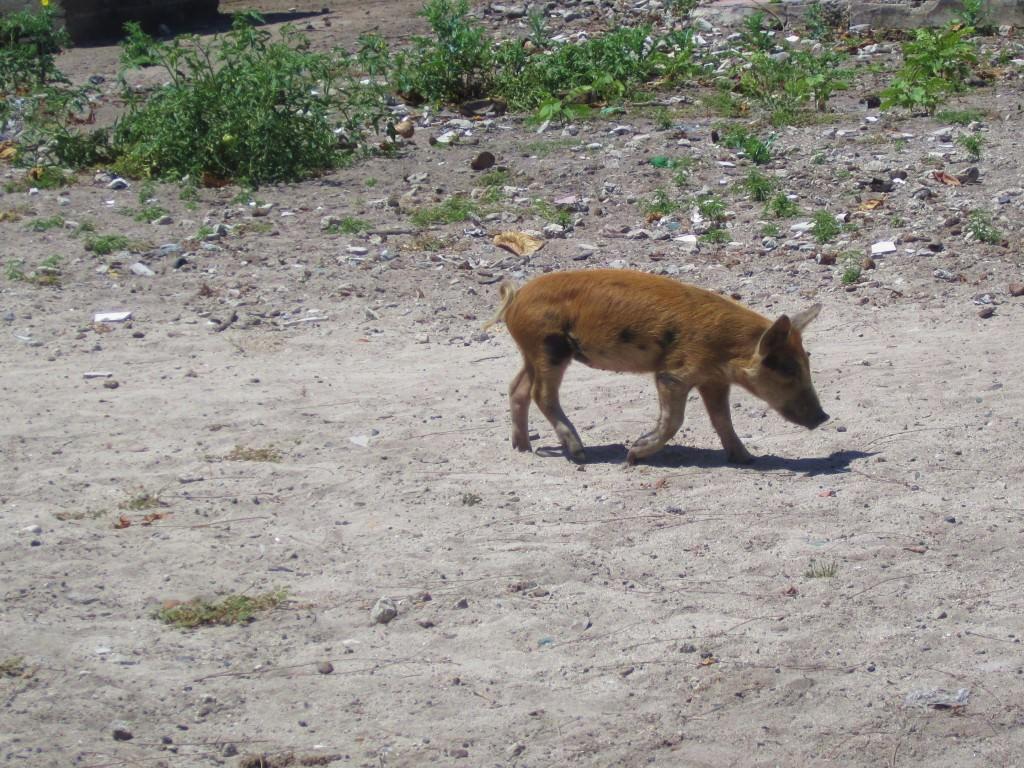 Free-roaming piglet, Mano Juan, Isla Saona