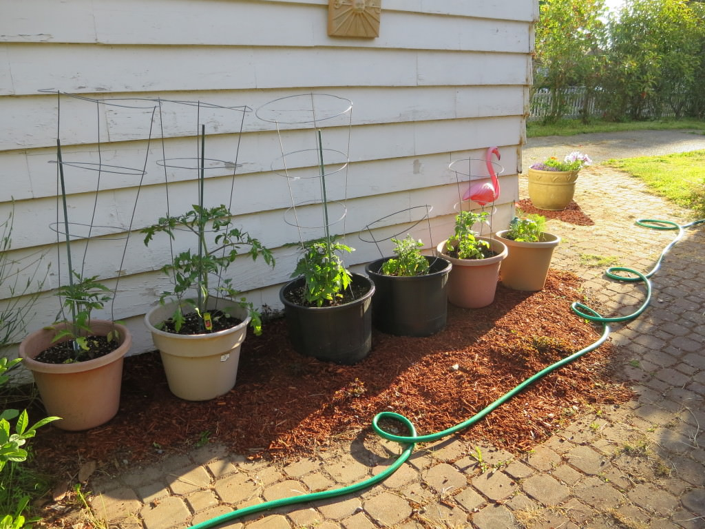Vegetable gardening growing tomatoes in pots