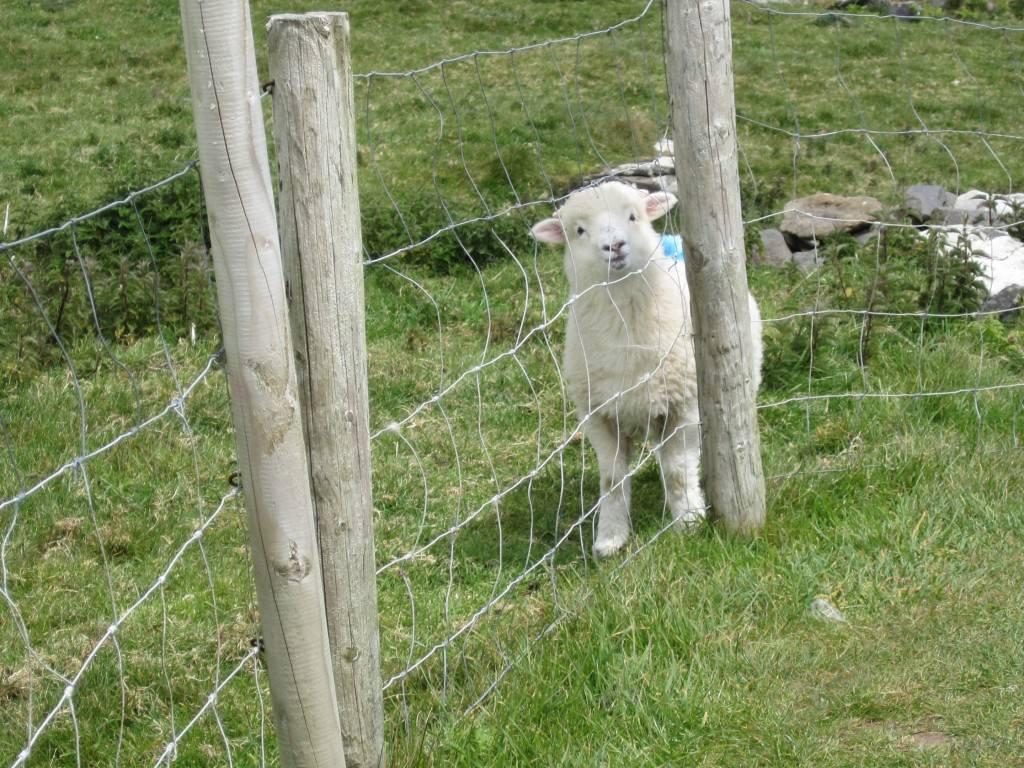 Dingle peninsula sheep