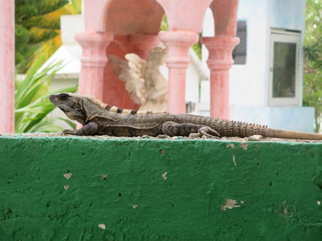 iguana Isla Holbox Mexico