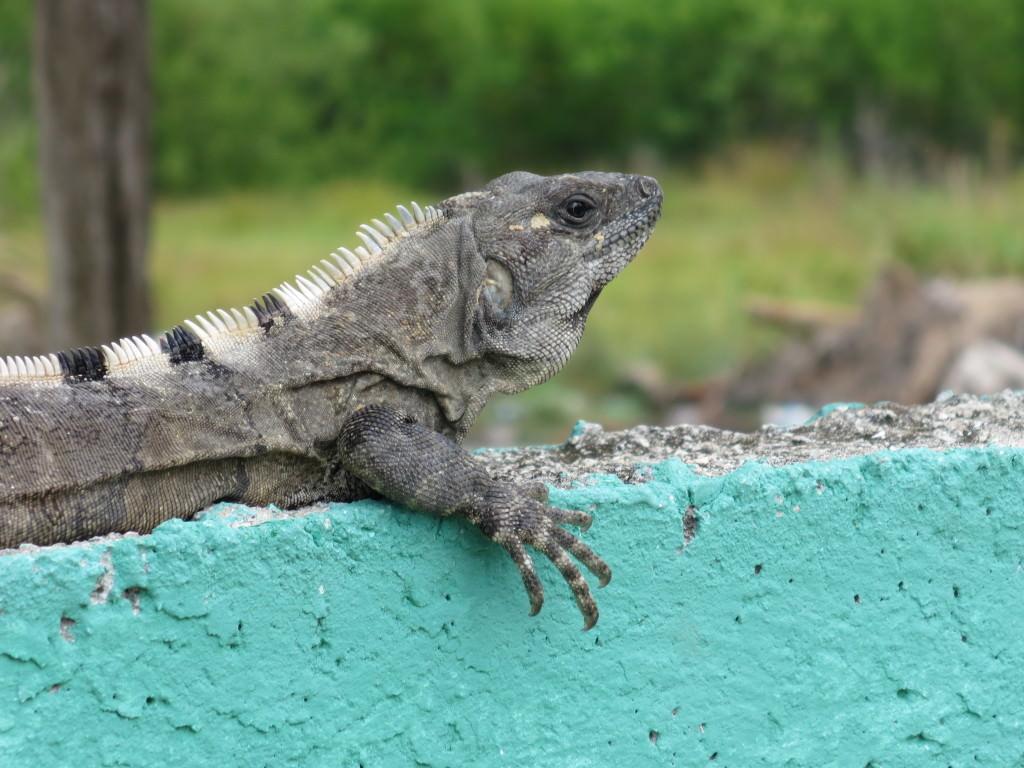 iguanaiguana Isla Holbox Mexico Isla Holbox Mexico