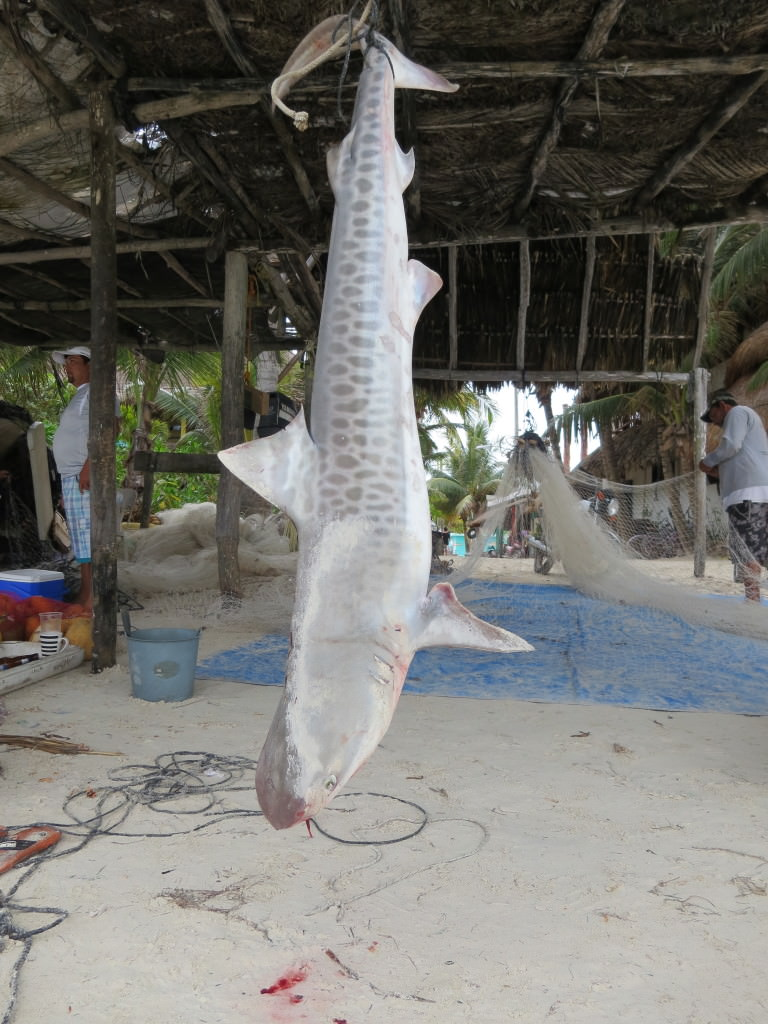 Tiger shark caught for food, Isla Holbox