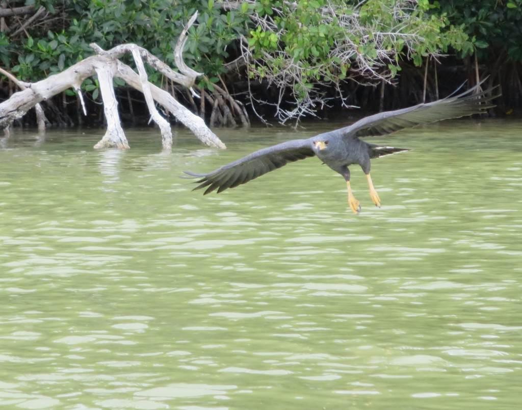 black hawk Rio Lagartos