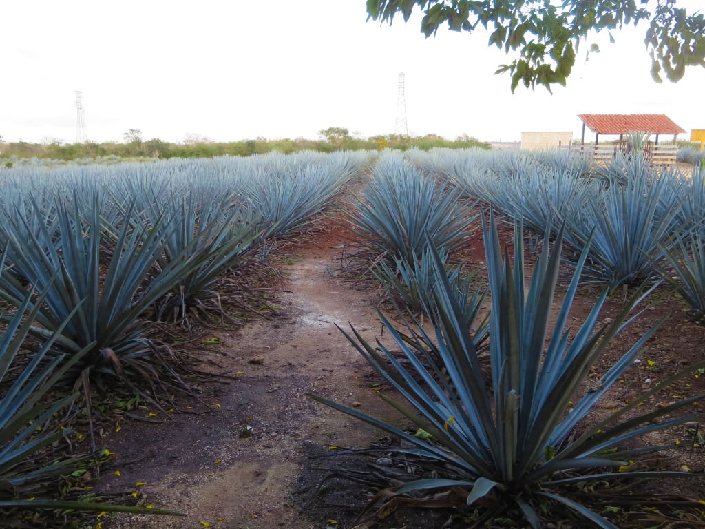 Agave fields at Destileria Mayapan tequila distillery, Valladolid