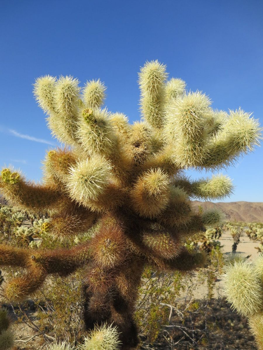 cholla cactus, Joshua Tree National Park