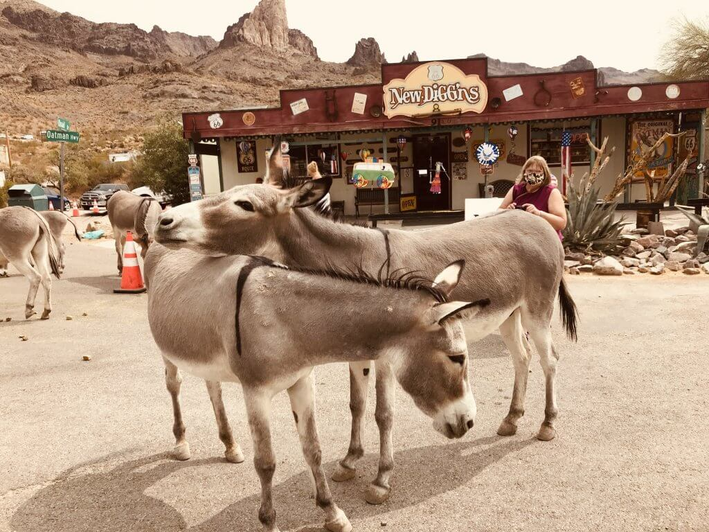 Wild donkeys in Oatman, Arizona